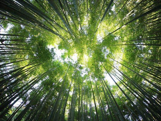 טפט תקרה   עצים גבוהים